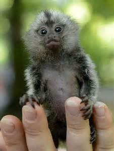 Male and Female Home trained marmoset Monkeys  (772) 932-9568