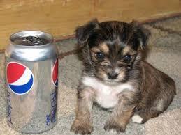??Pretty Female and Male Y.o.r.k.i.e puppies??(651) 337-3341