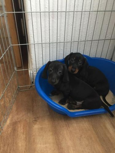 Adopt dachshund pups today