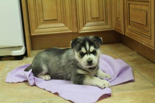 AKC free Cute Siberi.a.n Hus.k.y Needs New Home SMS 402-277-8303