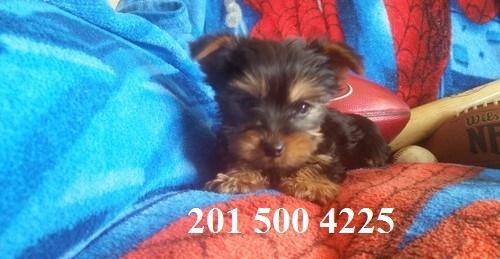 Small T.e.A.c.U.P Y.o.R.K.i.E puppies!!!(201) 500 4225