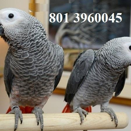 Talking A.f.r.I.C.A.n G.r.e.Y  Birds !!! (801) 396 0045