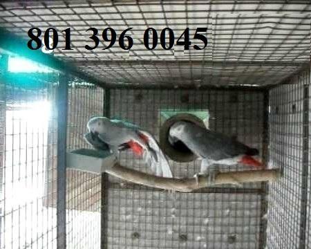 Talking A.f.r.I.C.A.n G.r.e.Y  Birds !!! (801) 396 0045