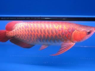 Best price premium Arowana fish for sale (shipping available)Auction Price