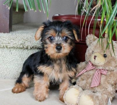 ?Y.o.R.k.i.e P.upp.i.e.s For F.r.e.e, (770 756 8621/Ready Now 12 Weeks Old #