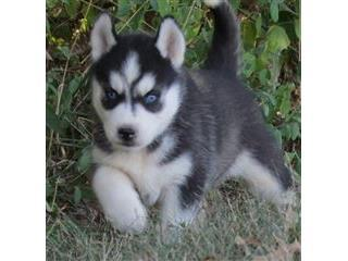 Quality siberians huskys Puppies:contact us at (719) 982-8517)