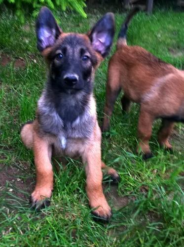 Lovely B.E.L.G.I.A.N  M.A.L.I.N.O.I.S puppies  (760) 910-7415