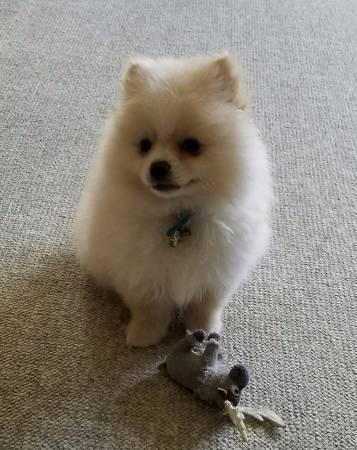 Sweet .Mini P.o.m.e.r.a.n.i.a.n puppies!!!sms:....