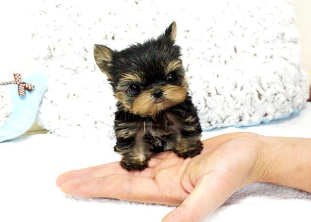 T-cup Y.o.r.k.i.e  puppy avail able(484)381-0472