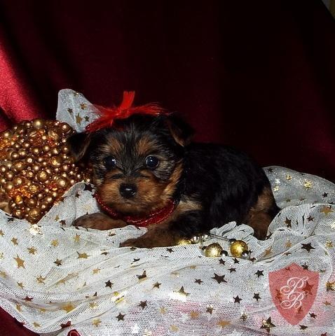 Quality Teacup Yorkies Puppies:.... (719) 417-8519