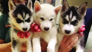 !!!!! Quality siberians huskys Puppies:!!!contact us at(912) 290-9808