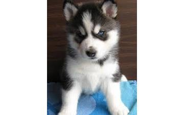 Blue Eyes male and female Siberi.a.n hus.k.y Pu.ppies ) Need Hom  708-356-7515