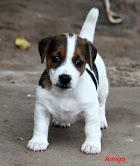 Free Awesome Charming Female and Male Jack Russell Terrier Pu.ppies