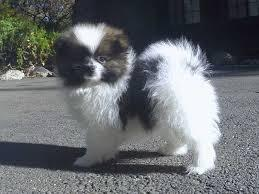 !!!!!HEALTHY WHITE AND BLACK  POMERANIAN PUPPIES  FOR SALE.....