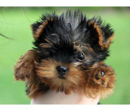 FREEEE TWO Tiny CUTE Tea-cup Yorkies Pu.ppies Need 4ever Home NO FEES!!. Not For Sell!! PICK UP A