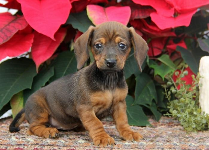 AKC Male and Female Duschuam  Puppies  For New Home