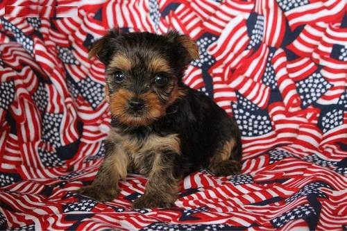 Awesome Charming male and female teacup Y.O.R.K.I.E PUPPIES