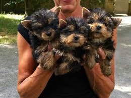 Pretty Female and Male Tea Cup Y.O.R.K.I.E puppies contact us 4.1.0. 4.24-6.7.8.4