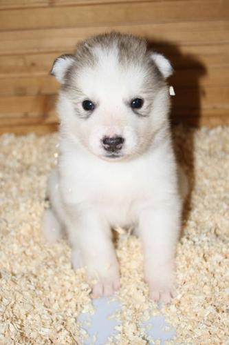 .blue eyes siberians huskys Puppies to good homes.