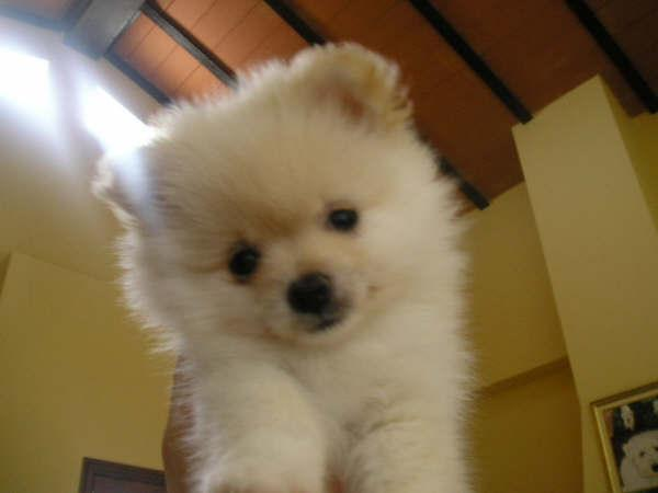 !!Male and Female Pomeranianss Puppies Available (512) 553-3823