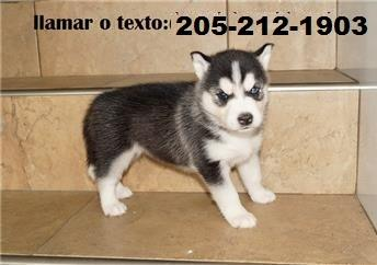 CUTE S.i.b.e.r.i.a.n H.u.s.k.y Puppies: contact us at.205*212*1903*