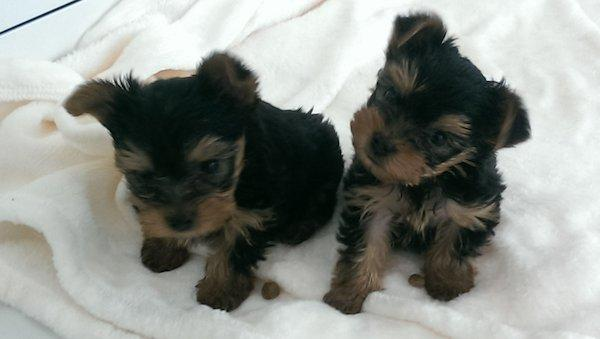 ?Y.o.R.k.i.e P.upp.i.e.s For F.r.e.e, Ready Now 12 Weeks Old # contact (661) 375-7048