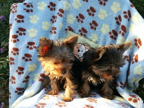 Awesome Charming Female and Male York.iee Pu.ppies ( 815) 317 4959