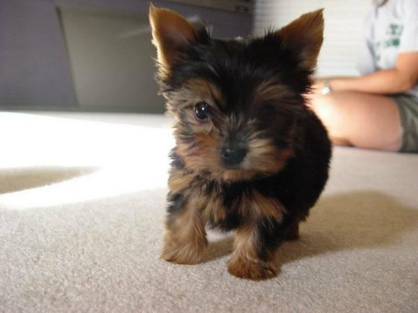XMASS Tiny CUTE Tea-cup Yorkies Pu.ppies to Good homes, 612-404-0685