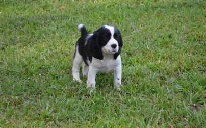 Excellent pedigree English Springer Spaniel Puppies for Sale Text Via (803) 574-1939