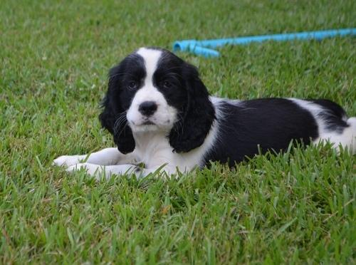 PennySaver | Excellent pedigree English Springer Spaniel Puppies for