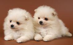 sweet cute Pomeranian puppies for sale
