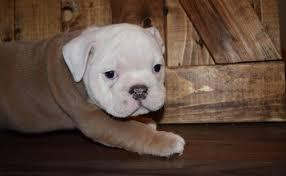 BOTH RAISED Fine M/F English B.u.l.l.d.o.g Puppies!!!