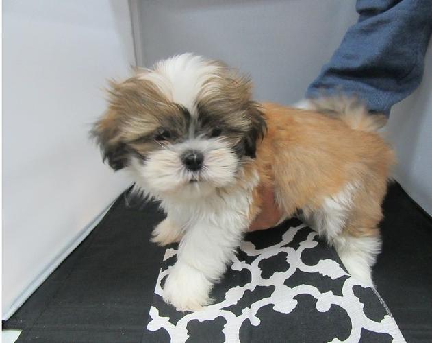 ??? free Quality Shih tzu Puppies:???(575) 291-3554