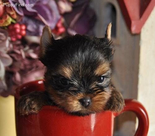 >>TEXTME NOW ON (310) 596-2260  Sweet Looking Teacup Yorkies Puppies ready