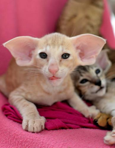 Peterbald Kittens for Rehoming
