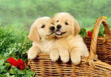 Golden Retriever Puppies- Ready Now!