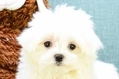 Top Quality Malteses Puppies:....contact us at (773) 270-0765