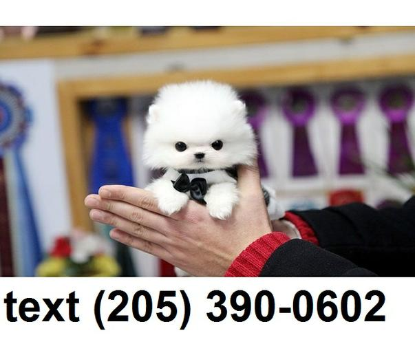 PennySaver | Excellent micro t-cup pomeranian pups for sale in