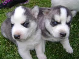 Blue Eyes male and female Siberi.a.n hus.k.y Pu.ppies ) Need Hom (941) 254-1418