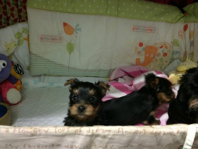 Sweet T.E.A.C.U.P Y.O.R.K.I.E puppies sms 303-330-0591