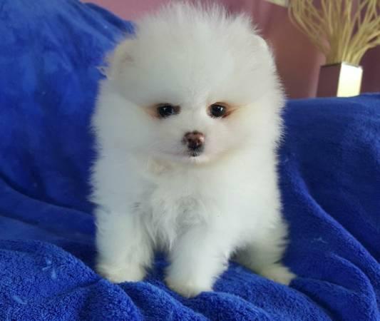 *Top Quality Female and Male P.o.m.e.r.a.n.i.a.n Puppies (312) 809-7896.jlk