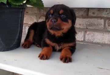 CUTE R.O.T.T.W.E.I.L.E.R  Puppies:  contact  us  at (806)   414-5784