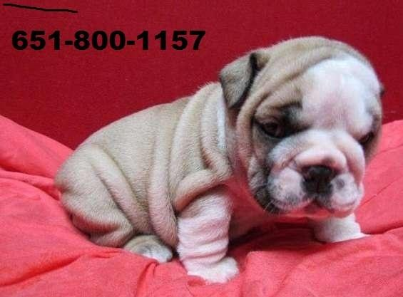 !!!Two English Buldoggs Puppiess For Free(651)800-1157 !!!