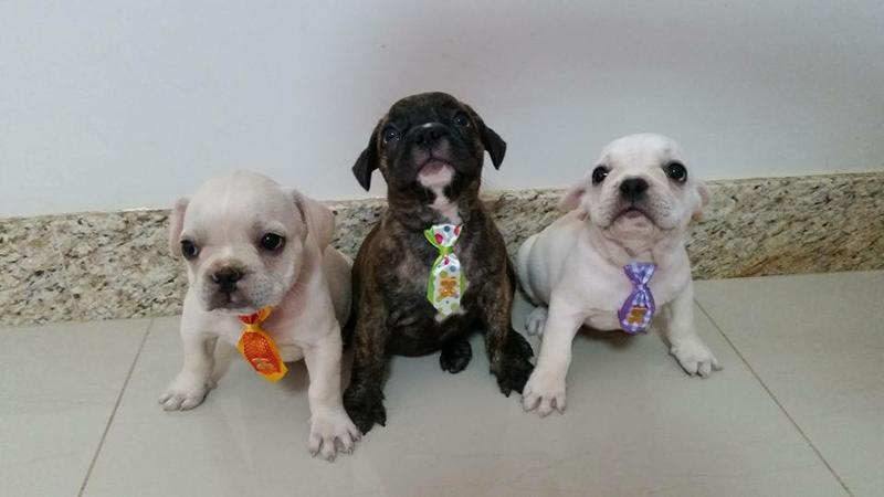 frenchie pups**for rehoming (915) 247-5641