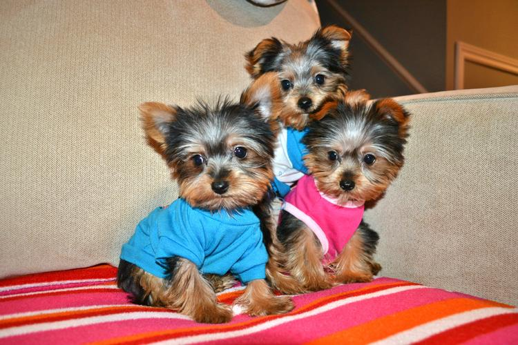 ?Y.o.R.k.i.e P.upp.i.e.s For F.r.e.e, Ready Now 12 Weeks Old # (302) 367-7356