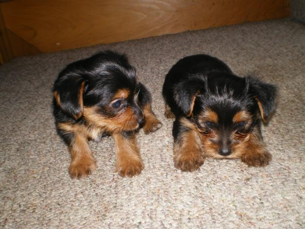 Y.o.R.k.i.e P.upp.i.e.s For F.r.e.e, Ready Now 3 months Old # (404) 596-6424