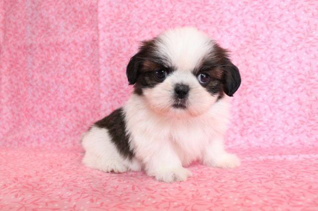 Cutest Toy Shih Tzu Puppy!!