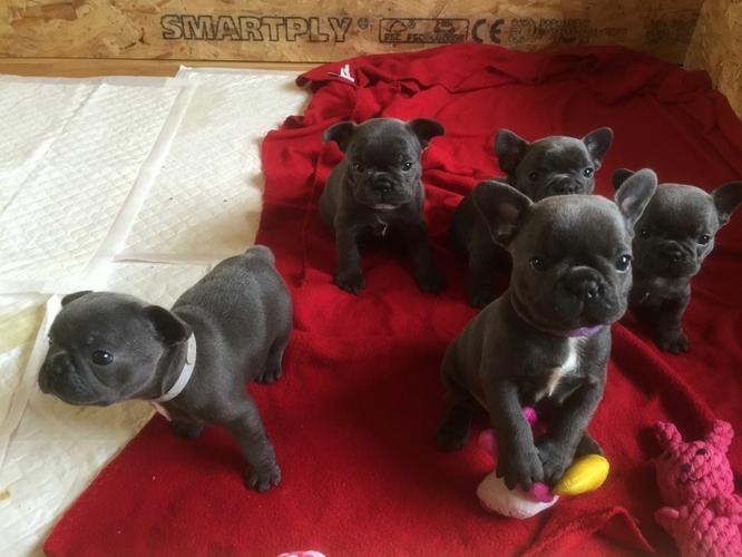 FRENCH BULLDOG PUPPIES FOR SALE**334-456-8407***
