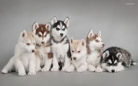 !!!!! Quality siberians huskys Puppies:!!!contact us at(908) 485-7150