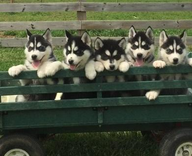 !!!!! Quality siberians huskys Puppies:!!!contact us at(443) -961-4784